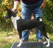 Eldorado Basenjis' 2008 puppy plans